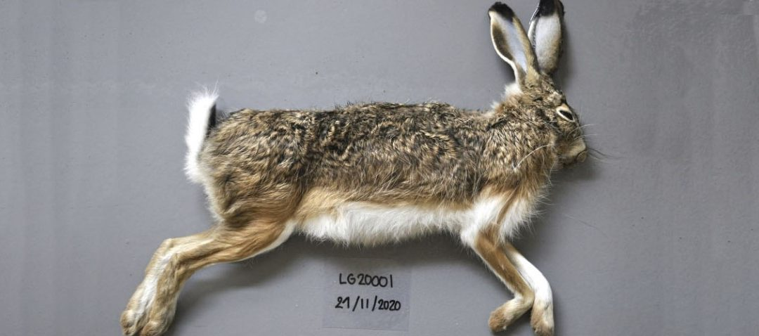 Confirman que la enfermedad hemorrágica del conejo ha dado el salto a la liebre ibérica